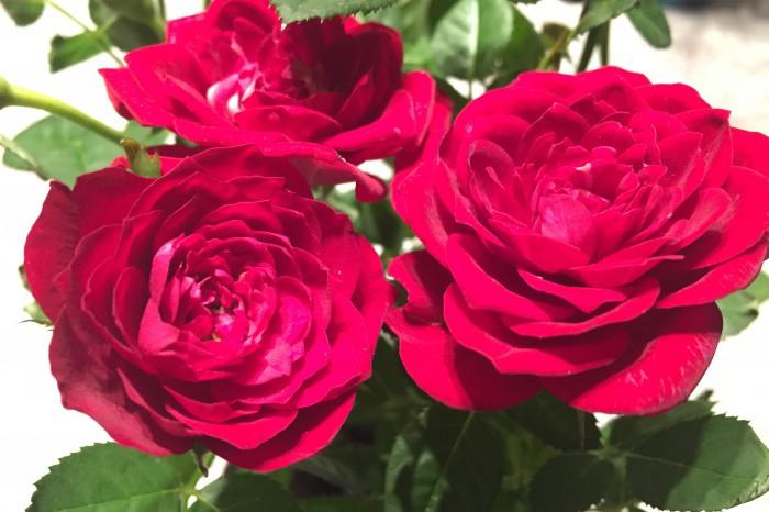 Rosers de Sant Jordi